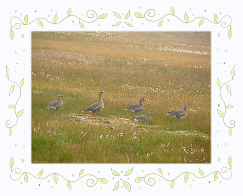Geese08