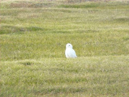 Owl093